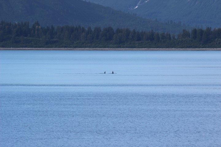 Mother and child orcas